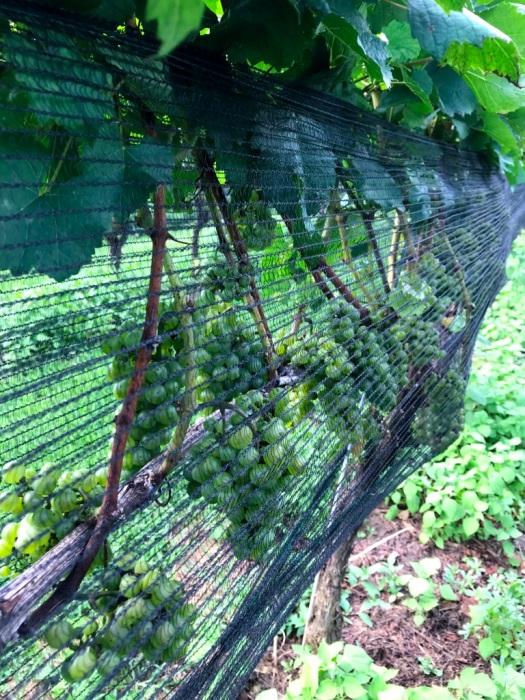 Galer Estate vineyard