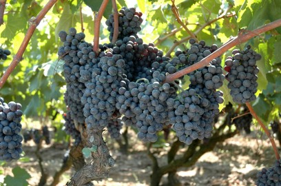 grapes of salice salentino source cantina san donaci