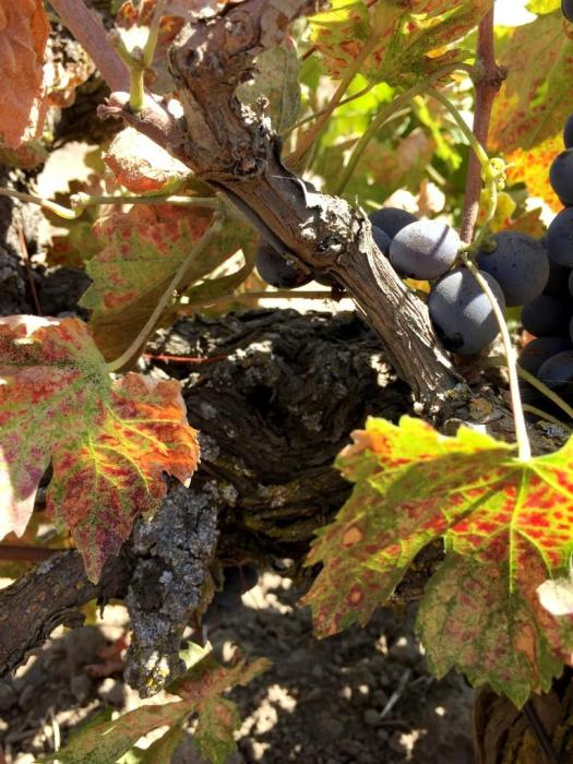 Ancient Vine Carignane Lodi