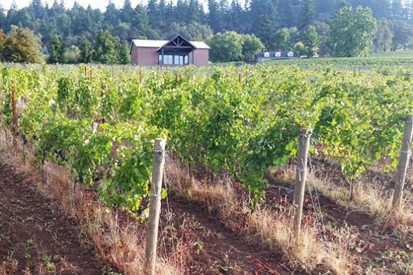 BellsUp-Pinot Harvest