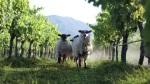 Veramonte Vineyard