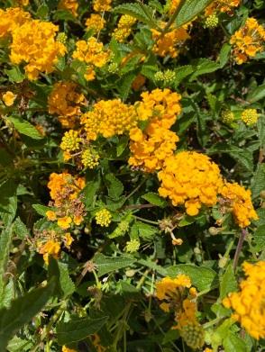 California 2021 flowers (4)
