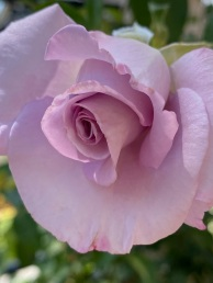 other roses (5)