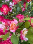 pink roses (4)