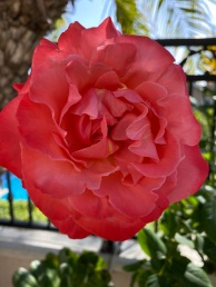 red roses (1)