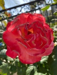 red roses (6)