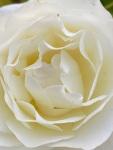 white roses (1)