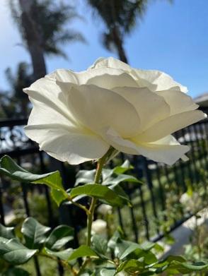 white roses (2)