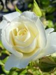 white roses (3)