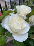 white roses (4)