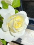 white roses (7)